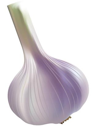 vector garlic